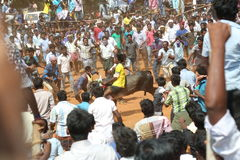 Manju virattu festival tamilnadu india. 12 feb 2017 tamilnadu INDIA - a bull is being releasedon on the ground and the people are watching and ready to catch the Royalty Free Stock Image