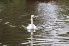 Manky mallard kaczka na wodzie Odbicia zdjęcia stock