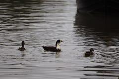 Manky mallard kaczka na wodzie Odbicia obrazy royalty free