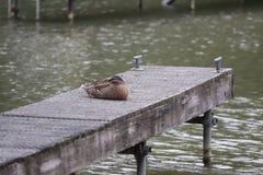 Manky mallard kaczka na wodzie Odbicia obraz royalty free