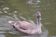 Manky mallard kaczka na wodzie Odbicia zdjęcie stock