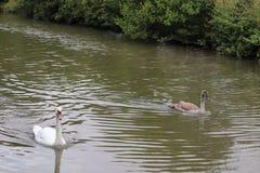 Manky mallard kaczka na wodzie Odbicia zdjęcie royalty free