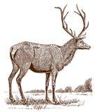 Manlig älg- eller vapiticervuscanadensis i sidosikten som står i ett landskap vektor illustrationer