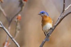Manlig östlig blåsångare i den tidiga våren - Sumac träd i bakgrund Royaltyfria Bilder