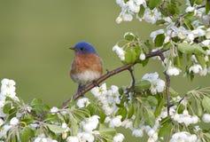 Manlig östlig blåsångare som sätta sig i blommor Arkivfoto