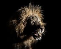 Manlig afrikan Lion Portrait Quarter arkivfoto