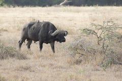 Manlig afrikansk buffel som går till och med den högväxta torra afrikanen sav Arkivfoton