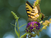 Manlig amerikan Tiger Swallowtail Butterfly arkivfoto