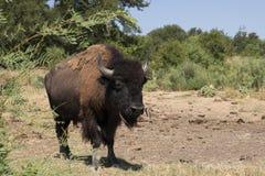 Manlig amerikansk bison eller buffel som går in mot kameran Arkivfoton