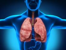 Manlig anatomi av det mänskliga respiratoriska systemet Arkivbild