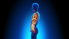 Manlig anatomi - människa all organbildläsning stock illustrationer