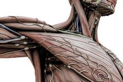 Manlig anatomikropp royaltyfri illustrationer