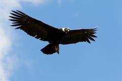 Manlig Andean kondor i flykten Arkivbilder
