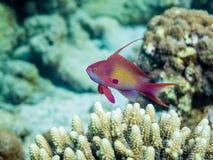 Manlig Anthias fisk Royaltyfri Bild