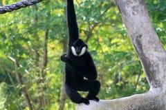 Manlig apa som ut hänger Arkivfoton