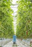 Manlig arbetare i växthus Arkivfoton