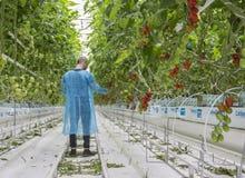 Manlig arbetare i växthus Royaltyfria Bilder
