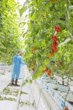 Manlig arbetare i växthus Fotografering för Bildbyråer