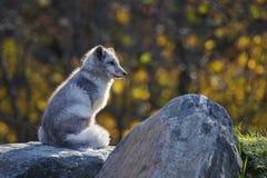 Manlig arktisk räv Arkivbild
