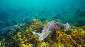 Manlig australisk jätte- bläckfisk som skyddar hans kvinnlig, som hon försöker att lägga hennes ägg under para ihopflyttningssäso royaltyfri fotografi