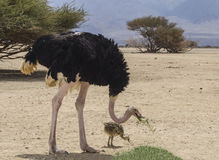 Manlig av den afrikanska ostrichen med en fågelunge Arkivfoton