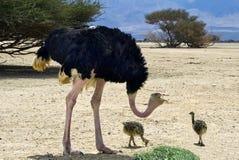 Manlig av den afrikanska ostrichen med fågelungar Royaltyfria Bilder