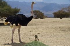 Manlig av den afrikanska ostrichen med hans fågelunge Royaltyfri Foto