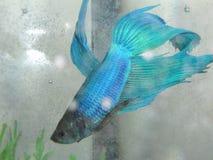 Manlig betafisk Royaltyfri Fotografi