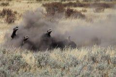 Manlig bison som tar ett dammigt smutsbad arkivbilder