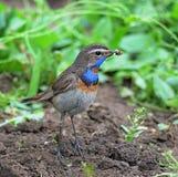 Manlig Bluethroat (Lusciniasvecicaen) Arkivfoto