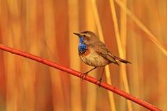 Manlig Bluethroat som sjunger från stolpen i avelterritoriet Arkivbild