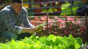 Manlig bondeman som använder den digitala minnestavladatoren, teknologi som kontrollerar kvalitet av ny grön grönsallat, sallad,  stock video