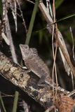 Manlig Borneo Anglehead ödla Arkivbild