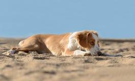 Manlig Breton hund Arkivbild