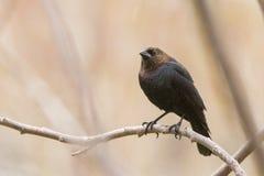 Manlig Brunt-hövdad Cowbird Arkivfoto