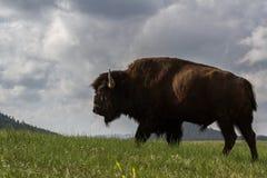 Manlig buffel arkivfoto