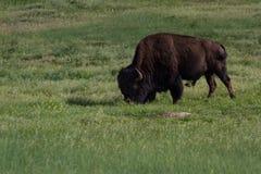Manlig buffel arkivfoton