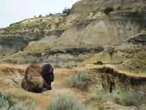 Manlig buffel som vilar i det unika landskapet av North Dakota arkivfoton