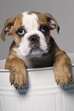Manlig bulldoggvalp Arkivbilder