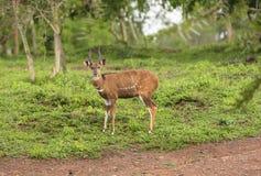 Manlig Bushbuck i skogen Royaltyfria Foton
