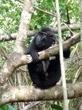 Manlig Celebes krönad svart macaque Arkivbilder