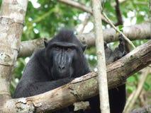 Manlig Celebes krönad svart macaque Fotografering för Bildbyråer