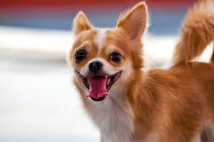 Manlig Chihuahua för valp som brunt royaltyfria bilder