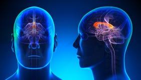 Manlig corpus Callosum Brain Anatomy - blått begrepp vektor illustrationer