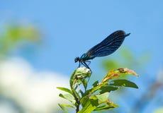 Manlig Damselfly för härlig Demoiselle i solsken Arkivbild