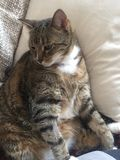 Manlig diabetisk pensionär Cat Model Resting Royaltyfri Fotografi