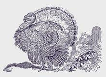 Manlig domestica för kalkonmeleagrisgallopavo som visar fjädrarna för svansfan stock illustrationer