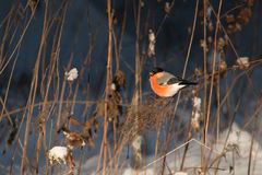 Manlig domherre i snöig skog Royaltyfria Foton