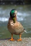 manlig duck2 royaltyfria bilder