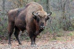 Manlig europeisk bison, i höstskogen Royaltyfri Foto